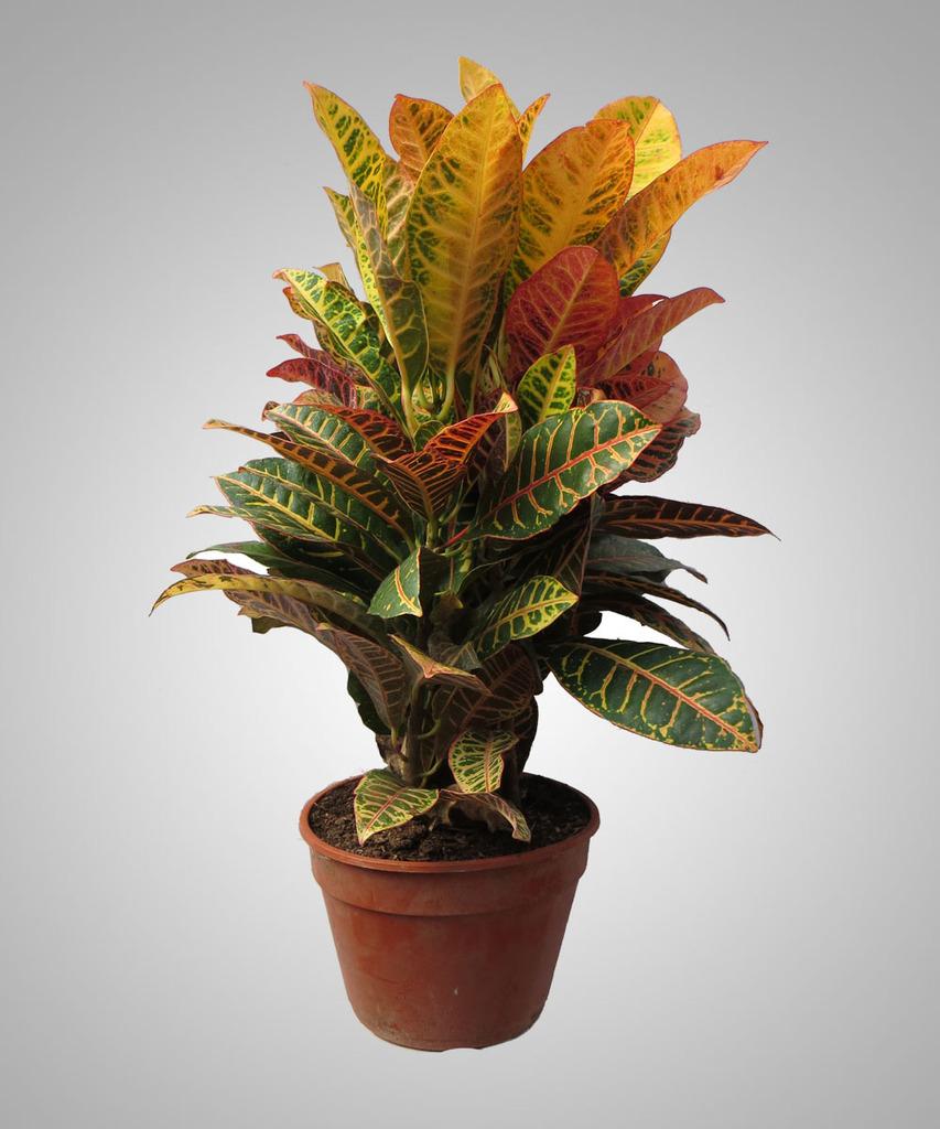 Croton petra comprar en vivero online - Plantas de interior online ...