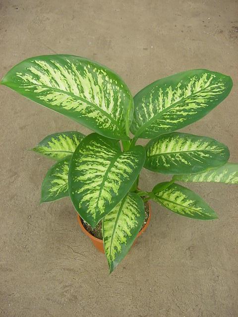 Dieffenbachia tropic comprar en vivero online - Plantas de interior online ...